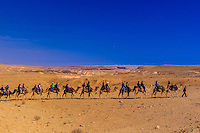 Bedouin man leading camel safari in the Negev Desert at Chan Hashayarot, Israel.