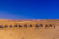 Bedouin man leading camel safari in the Negev Desert at Chan Hashayarot, Israel.