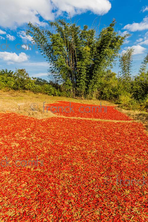 woman tribe harvesting red chili near Kalaw Shan state in Myanmar (Burma)