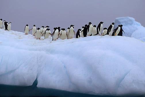 Adelie Penguin, (Pygoscelis adeliae) Group on iceberg. Antarctica.