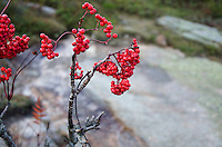 Closeup view of Mountain Ash berries (Sorbus americana) at the top of Cadillac Mountain in Acadia National Park, Maine.