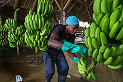 Worker is peeling off the branch and separating the packs into pieces that can be handled easily by the next worker.