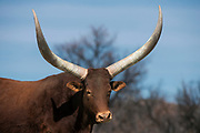 Watusi cattle<br /> Private game ranch<br /> Great Karoo<br /> SOUTH AFRICA
