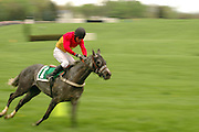 Racer atop horse in Steeplechase in Middleburg, Virginia, United States of America. Gray spotted horse zooms around corner with jockey who is wearing red and yellow top. Green pasture in background.