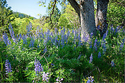 Washington, Klickitat. Lupine surround an oak tree in the Klickitat Canyon of South Central Washington. . PLEASE CONTACT US FOR DIGITAL DOWNLOAD AND PRICING.