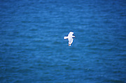 A seagull in flight against the blue sea at the Otago Peninsula, south island, new zealand, 1999.