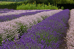 North America, United States, Washington, Sequim, rows of different shades of lavender in field with sunflowers at Lavender Festival, held annually each July
