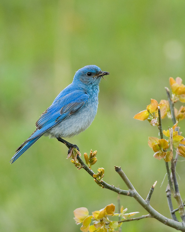 A male mountain bluebird pauses, after capturing a tasty meal, near his nest in an old aspen tree. Both male and female bluebirds provide food for their young until they are ready to leave the nest at approximately three weeks of age.
