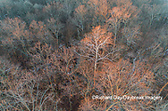 63877-01513 Aerial view of lone Sycamore tree in winter woods Marion Co. IL