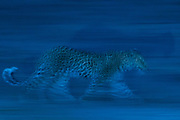 A leopard, Panthera pardus, running in the darkness
