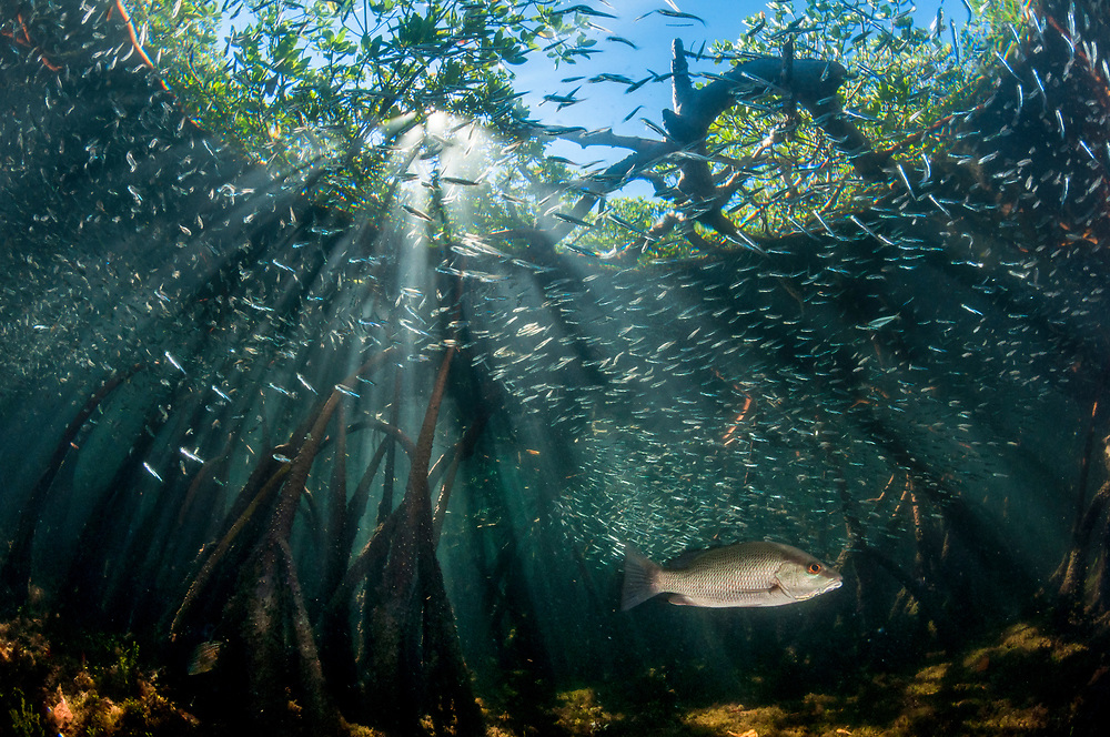 Snapper and baitfish use the mangroves for both protection and a place to feed.