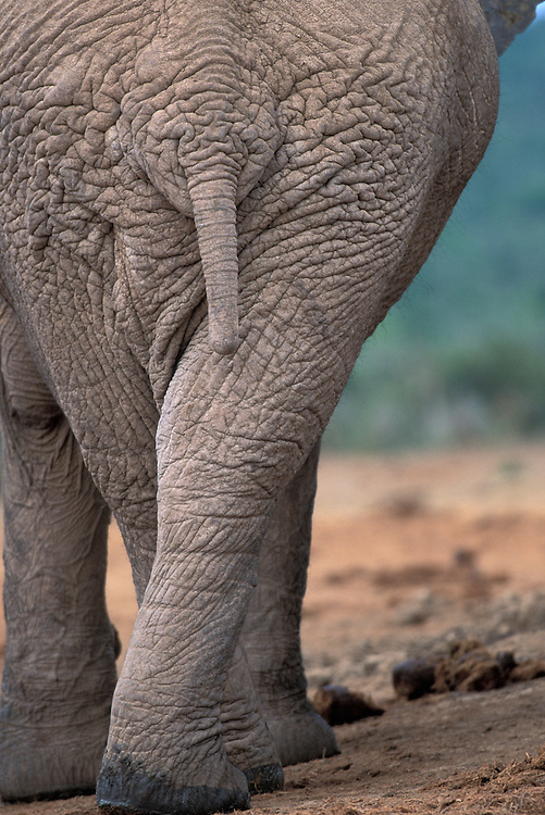 South Africa, Addo Elephant National Park, Close-up of Elephant tail (Loxodonta africana) by water hole