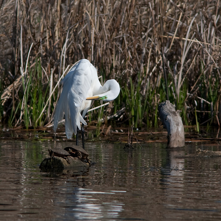 A great egret stands in a small pond near Lake Nokomis preening its feathers