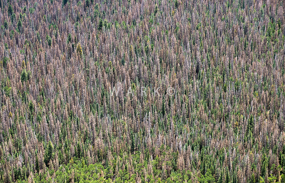 Dead pine tree forest, Mineral County, Colorado.  July 2013. 80384