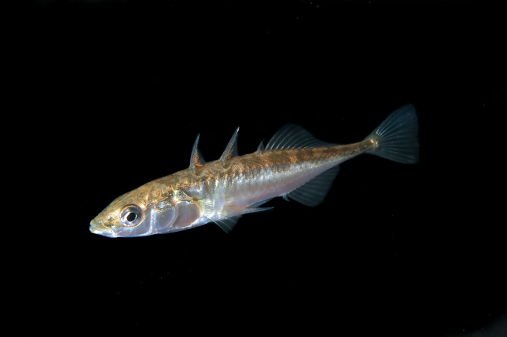 Three-spined stickleback (Gasterosteus aculeatus). Location: Stavanger, Norway