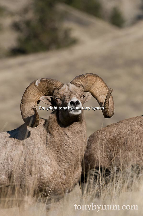 Bighorn Sheep wild rocky mountain big horn sheep