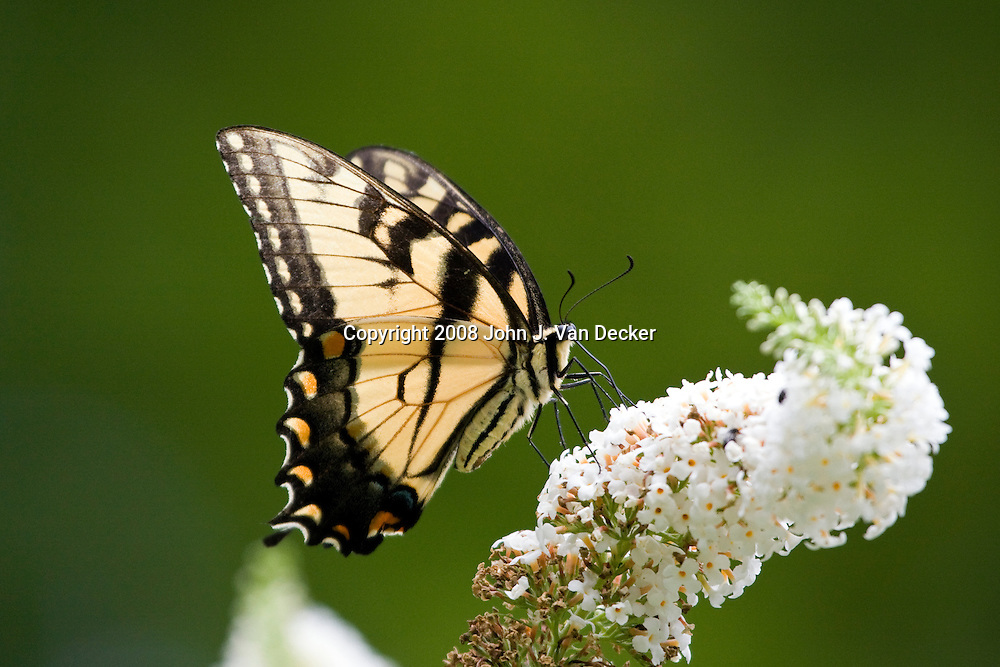 Eastern Tiger Swallowtail Butterfly on white lilac flower with wings spread, Papilio glaucus