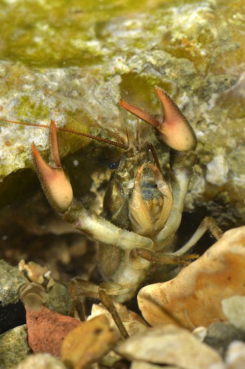 White-clawed Crayfish - Austropotamobius pallipes