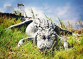Alligators and Such*