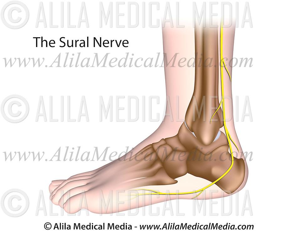 Sural nerve | Alila Medical Images