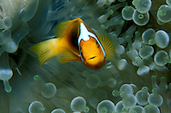 White-bonnet anemonefish, Amphiprion leucokranos, Fiji, Pacific Ocean