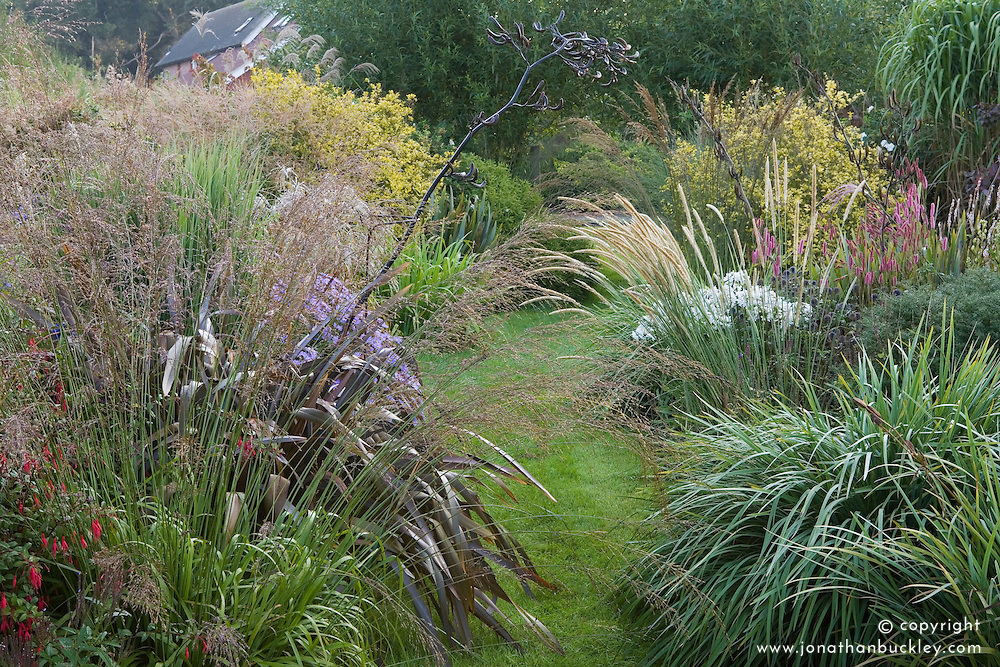 Autumn borders at Marchants packed with grasses and late flowering perennials. Planting includes Pennisetum macrourum, Phormium cookianum, miscanthus, molinia and asters
