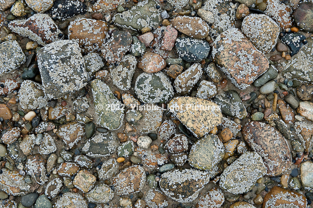 Stones on the beach, covered with barnacles
