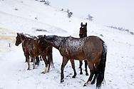 Quarter Horses (Equus caballus) in Montana winter<br /> PROPERTY RELEASED