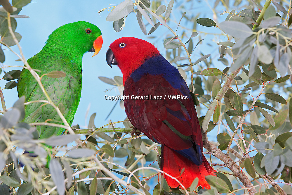 MALE AND FEMALE ECLECTUS PARROT eclectus roratus, PAIR STANDING ON BRANCH