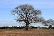 Leafless oak tree standing in field in winter, Shottisham, Suffolk, England, UK