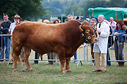 South Devon bull at Moreton Show, agricultural event in Moreton-in-the-Marsh Showground, The Cotswolds, Gloucestershire, UK