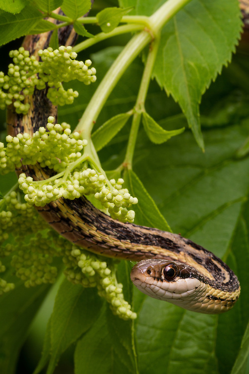 An eastern ribbon snake (Thamnophis sauritus) hangs from a bush at Huntley Meadows Park, Alexandria, VA.