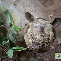 In Search of the Javan Rhino