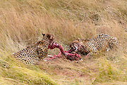 Male cheetahs (Acinonyx jubatus) feeding on the savanna of Maasai Mara, Kenya.
