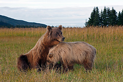 North American brown bear / coastal grizzly bear (Ursus arctos horribilis) cub attempts to nurse from her mother, Lake Clark National Park, Alaska, United States of America