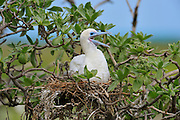 Red footed Booby sits on nest and calls out.