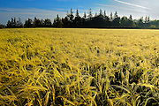 2-Row barley at sunrise with dew<br /> Kelby<br /> Prince Edward Island <br /> Canada
