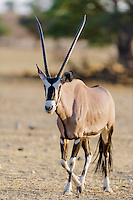Gemsbok, Kgalagadi Tranfrontier Park, Northern Cape, South Africa