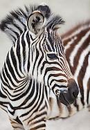 Zebra at Zoo, Switzerland.