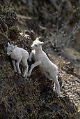 Wildlife: Dall Sheep, Lambs