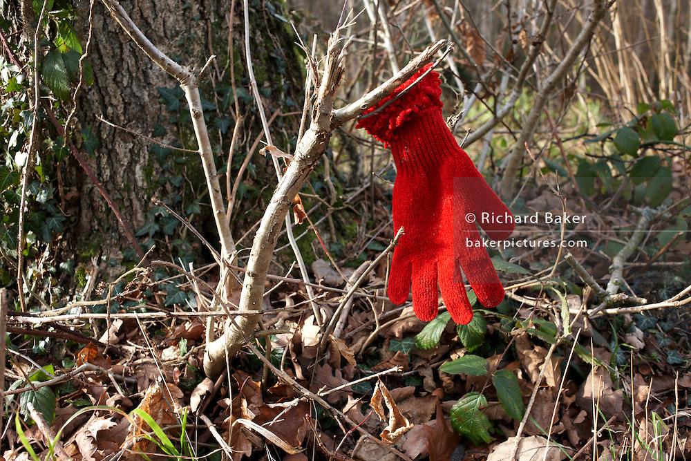 A lost red glove dropped on a path in Clowes Wood, Chestfield, Kent hangs on a twig in case its owner returns to search.