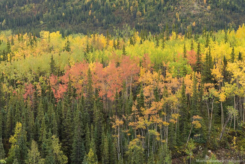 Fall colors of quaking aspen (Populus tremuloides), Denali National Park, Alaska