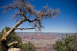 A tree along the southern rim of the Grand Canyon, Grand Canyon National Park, Arizona.