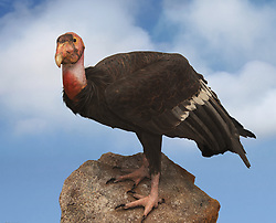 California condor vulture perched upon a rock with a partly cloudy sky in the background