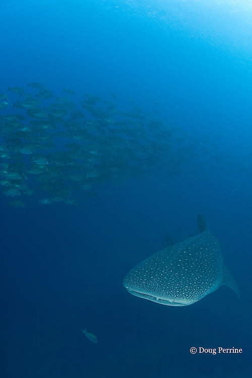 whale shark, Rhincodon typus, circles spawning aggregation of dog snappers, Lutjanus jocu, in order to feed on their eggs when they spawn; Gladden Spit & Silk Cayes Marine Reserve, off Placencia, Belize, Central America ( Caribbean Sea )
