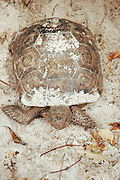 This is a photograph of a Sand Covered Gopher Tortoise; taken at Gumbo Limbo Environmental Complex in Boca Raton, Florida.  They are an endangered species.
