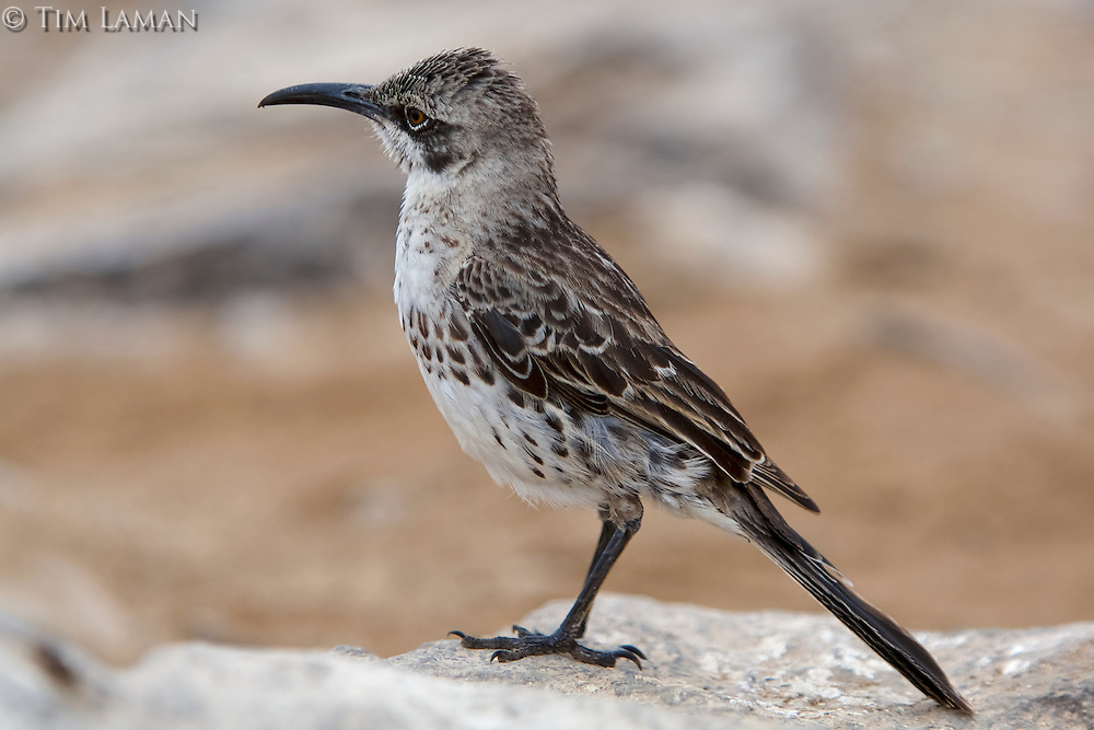 Espanola (Hood) Mockingbird (Mimus macdonaldi).<br />Endangered Species:  IUCN Red List:  Vulnerable<br />Espanola (Hood) Island, Galapagos Islands, Ecuador