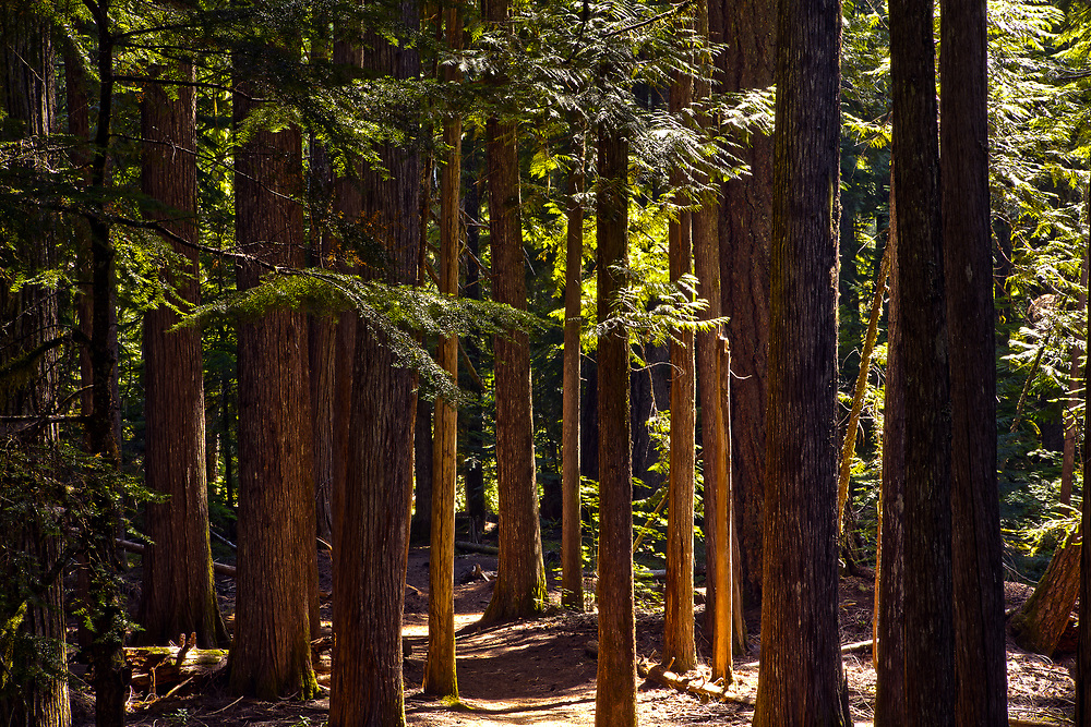 The morning light reflects off of the tree trunks along the trail to Proxy Falls.
