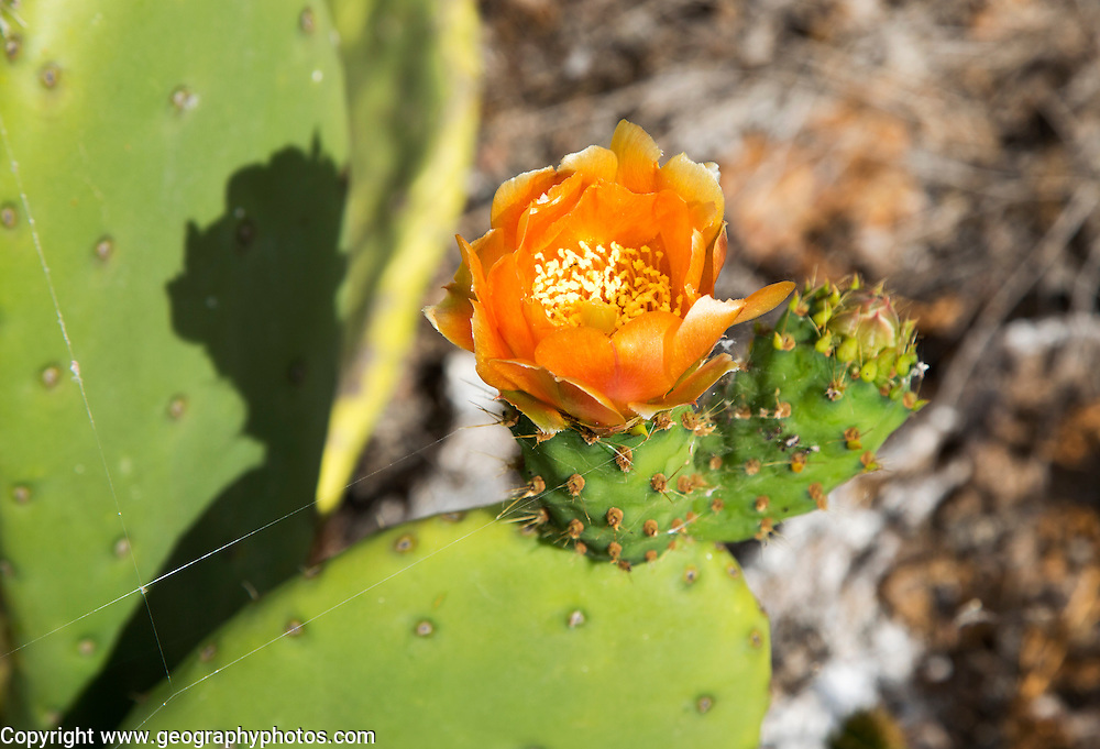 Flower of opuntia ficus-indica prickly pear cactus crop for cochineal production, Mala, Lanzarote, Canary Islands, Spain