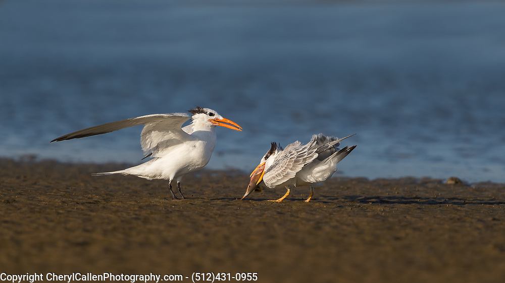 Royal Tern baby eating fish after parent brought it in